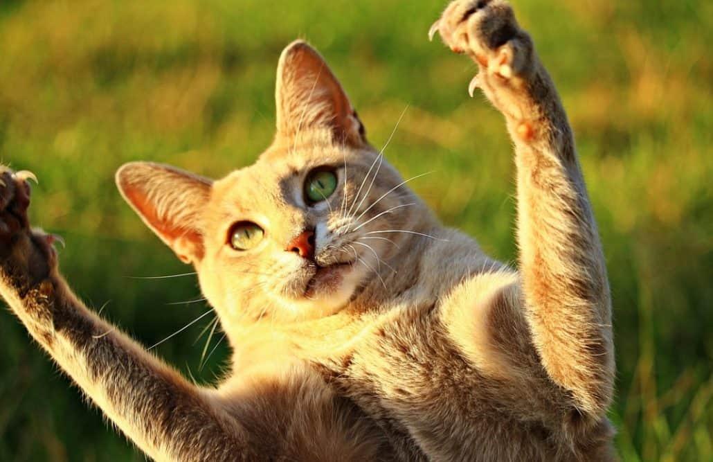 Gatto con le zampe alzate
