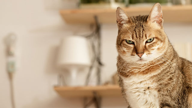 Gatto con uno sguardo arrabbiato