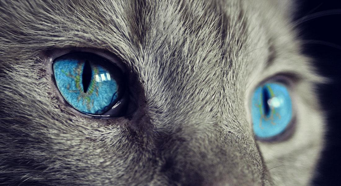 Gatto dagli occhi celesti