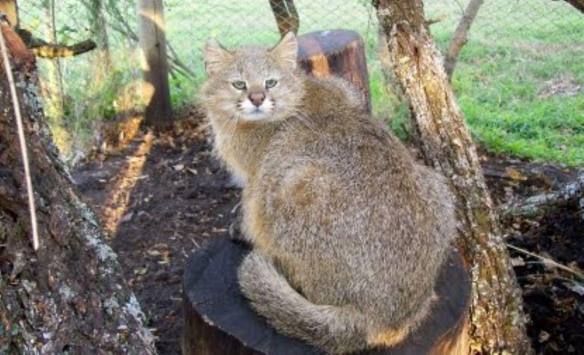 Gatto-delle-Pampas-seduto-su-roccia