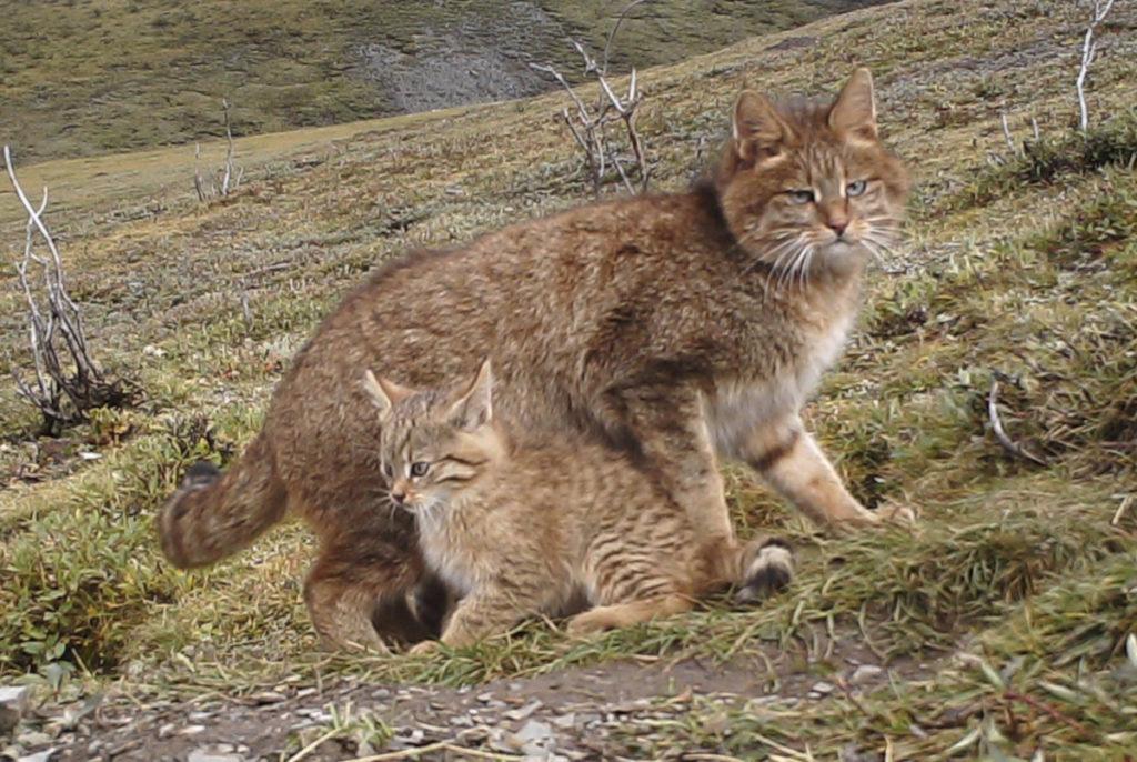 Gatto-di-Biet-e-gattino-in-natura