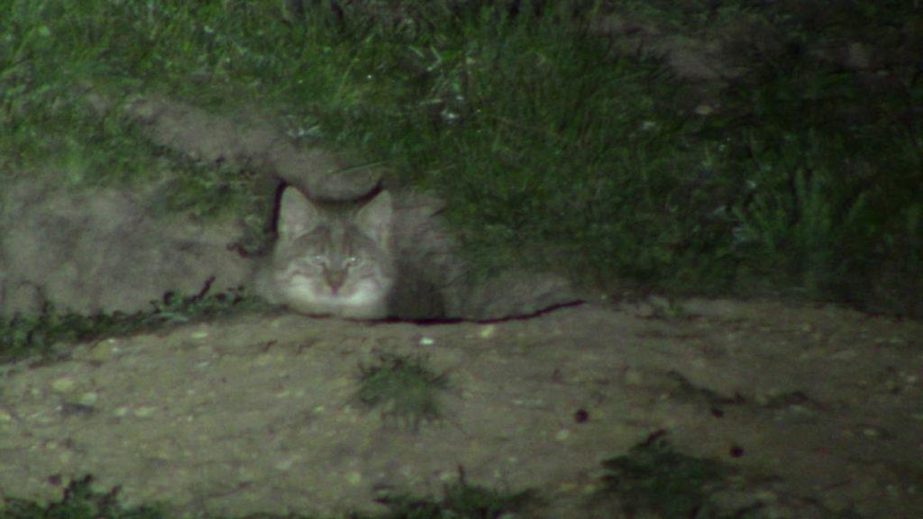 Gatto-di-Biet-scatto-notturno