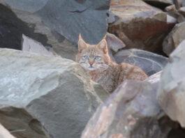 Gatto-di-Biet-tra-le-rocce