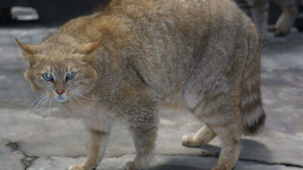 Gatto-di-Biet-zoo-di-Qinghai