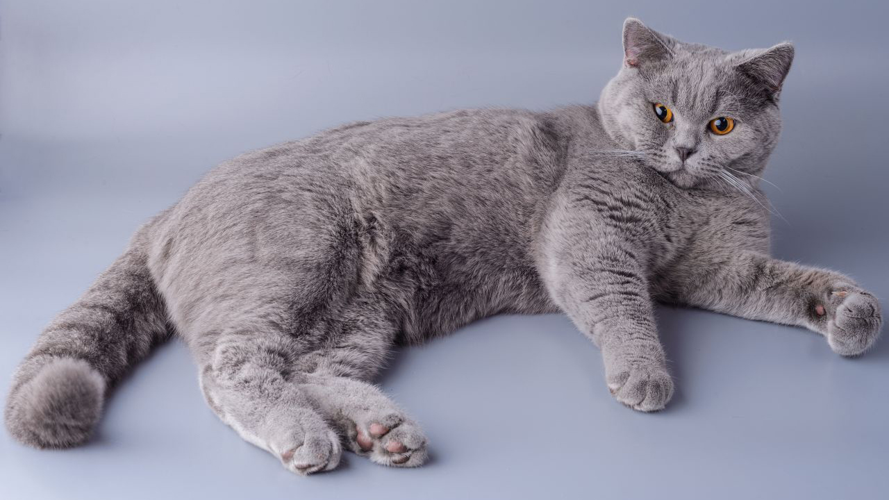 Gatto di razza British Shorthair