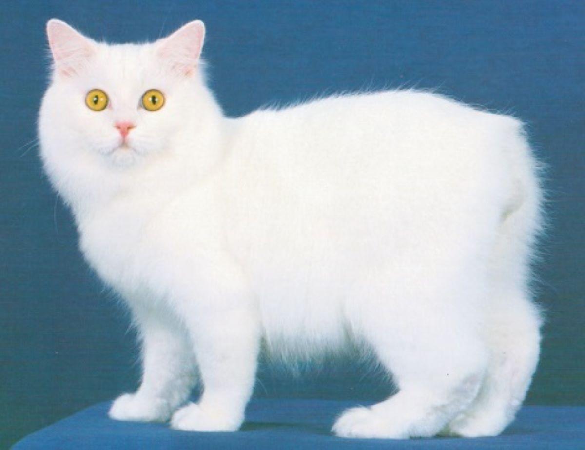 Gatto-isola-di-Man-pelo-bianco