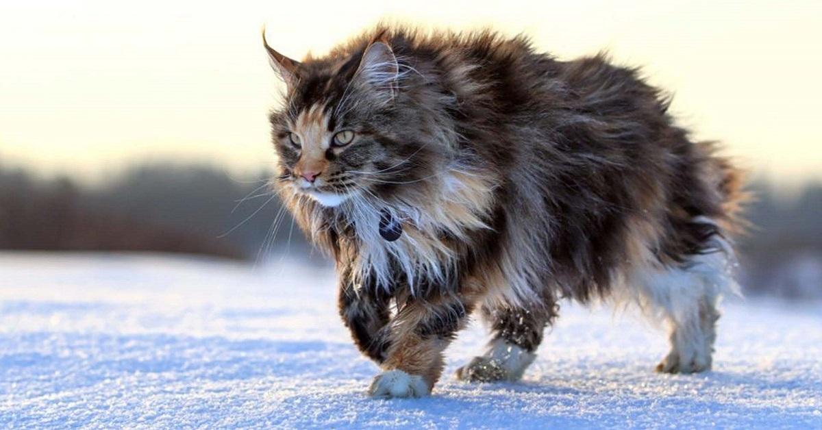 gatto per i leone