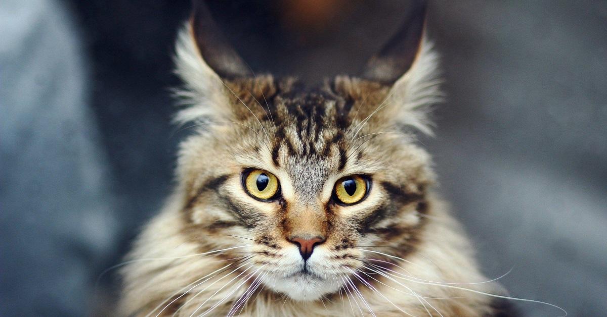 gatto per il sagittario