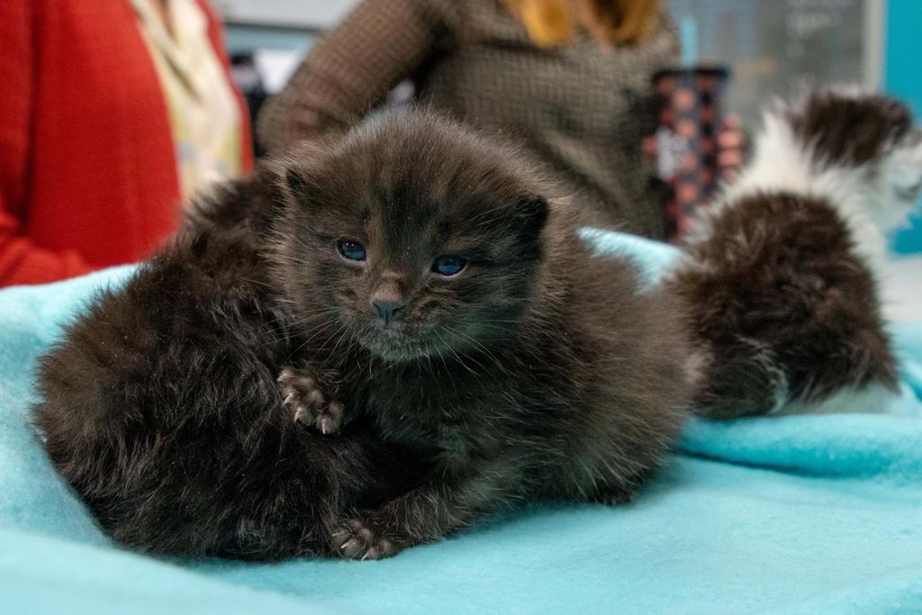 Gatto nero con una settimana di vita
