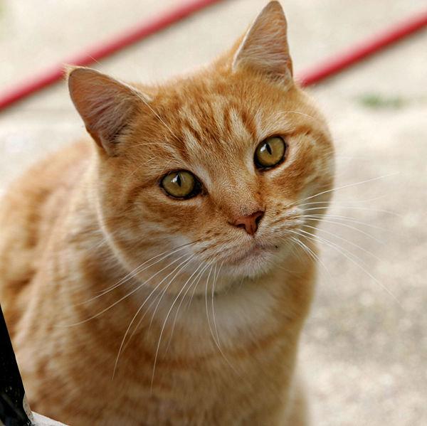Gatto rosso con una macchia a forma di M sulla fronte