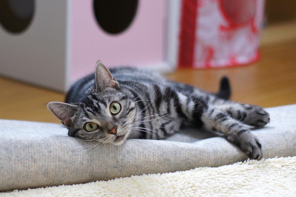 Gatto sdraiato su un tappeto