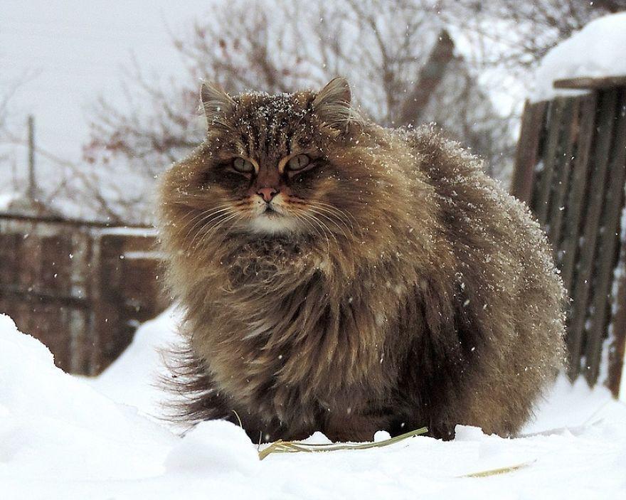 Gatto siberiano tra la neve