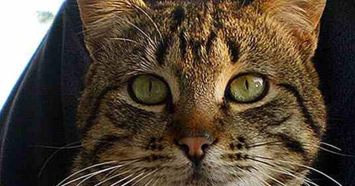 Gatto tigrato con una macchia a forma di M