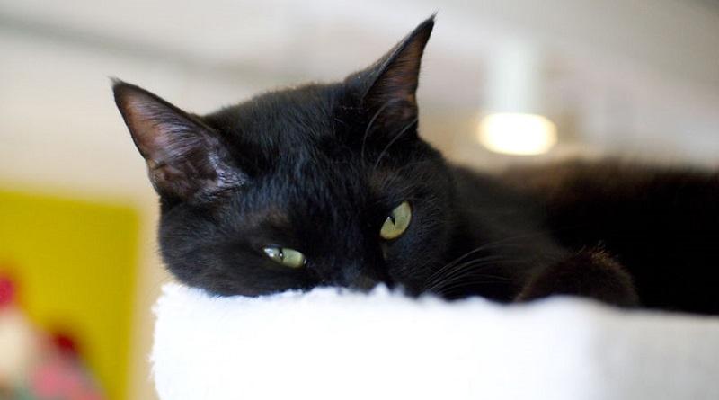 gatto-nero-dolce