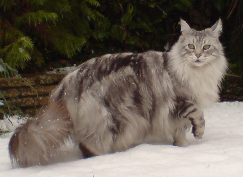 Educare-Maine-Coon