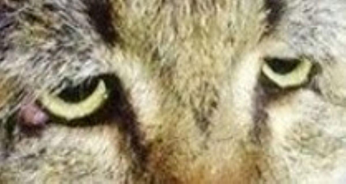 sguardo-gatto-prolasso