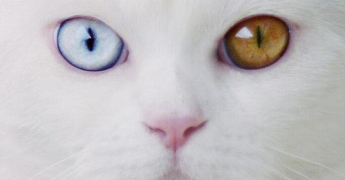 Occhi diversi di un gatto