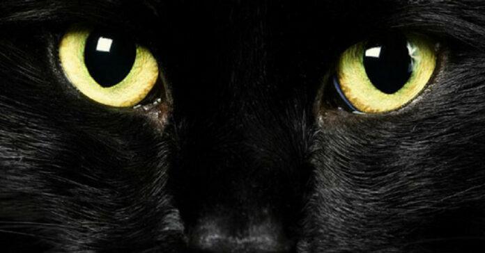 Occhi gialli di un gatto