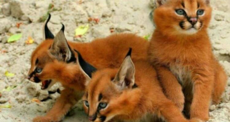 piccoli-gatti-selvatici
