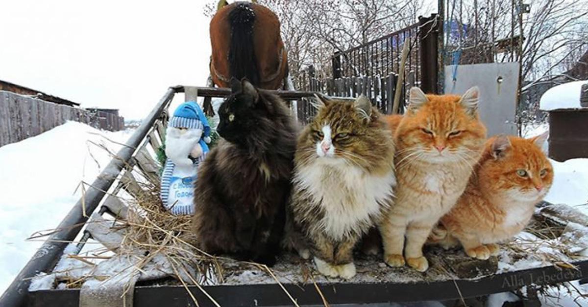 Quattro gatti siberiani