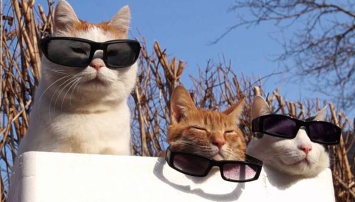 Tre gatti con gli occhiali da sole