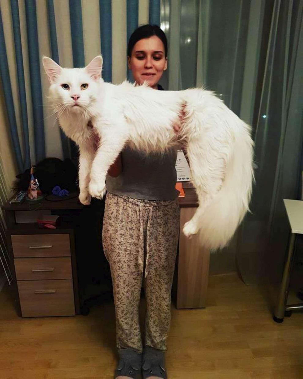 Un gatto bianco grandissimo