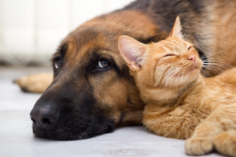 Un gatto che dorme con un cane