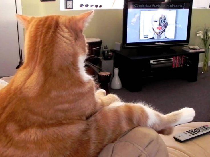 Un gatto che guarda la televisione