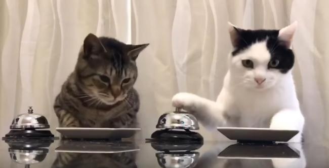 Un gatto suona il campanello per mangiare