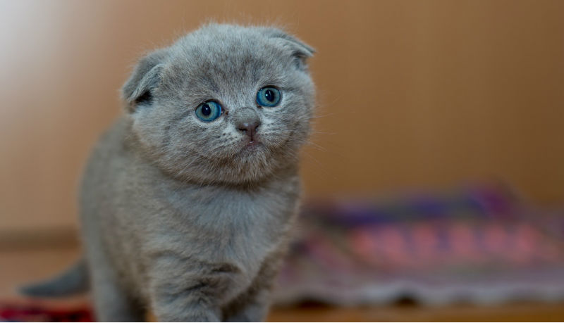 un adorabile gatto scottish fold