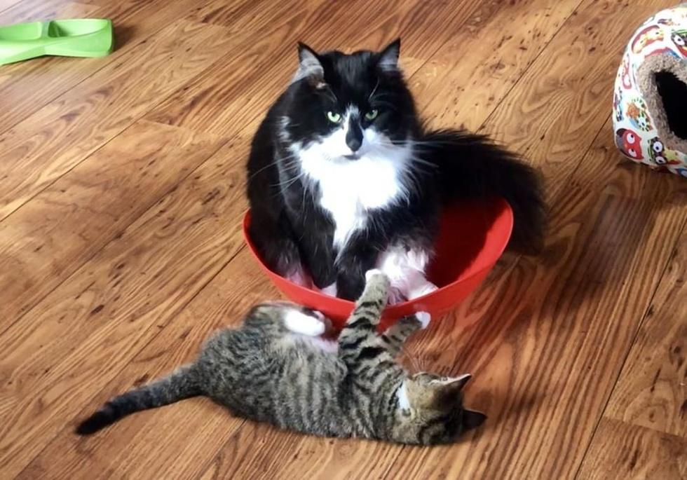 due-gatti-giocano