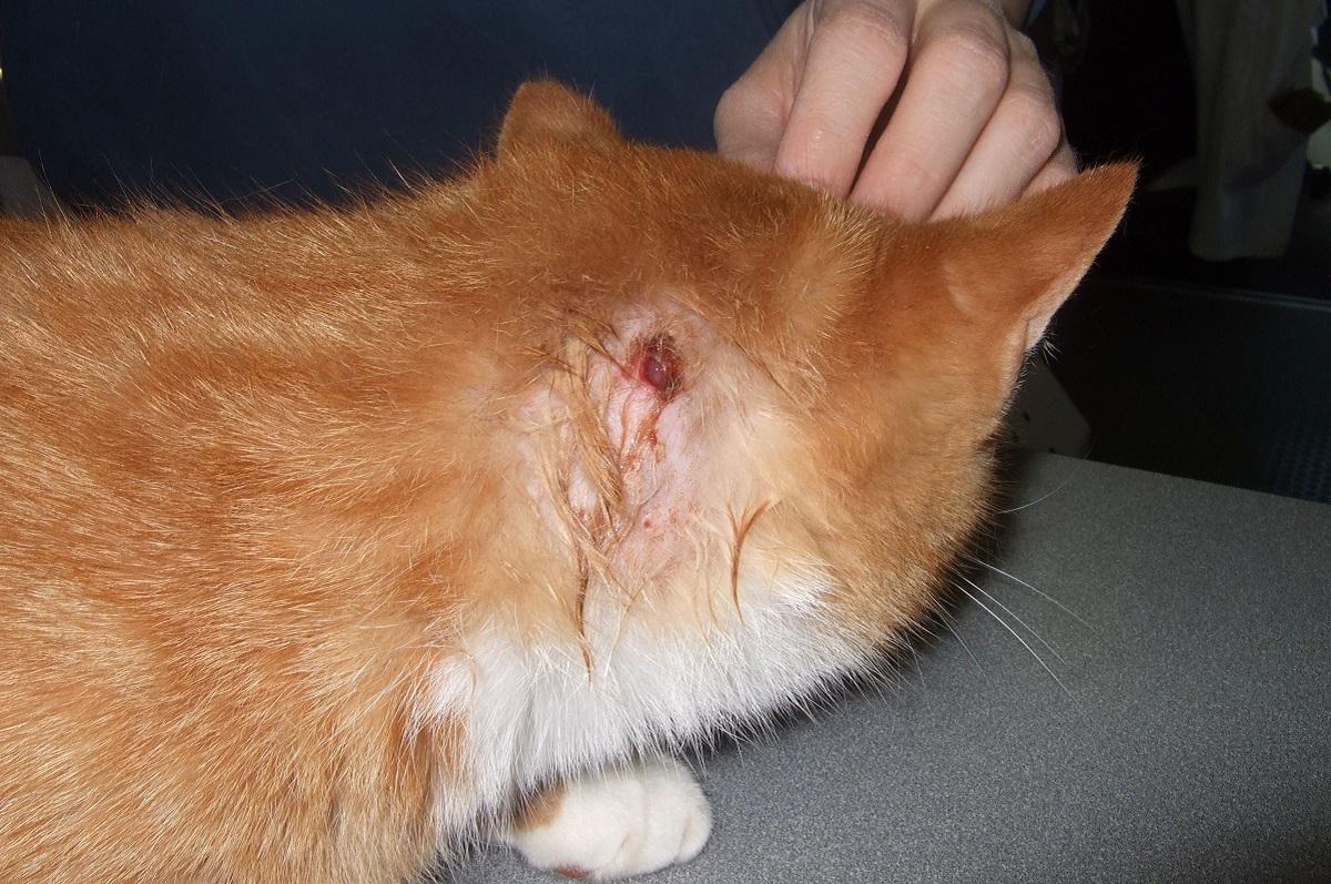 ascesso in un gatto