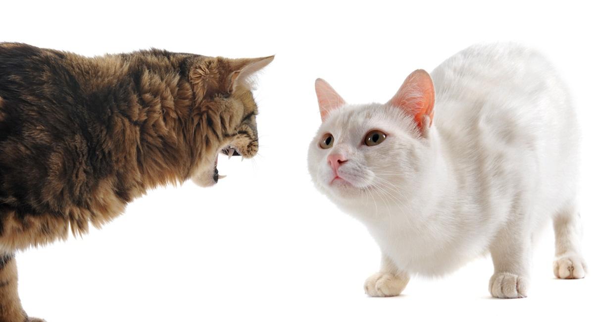 due gatti in atteggiamento ostile
