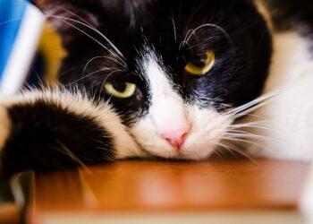 gatto su tavolo