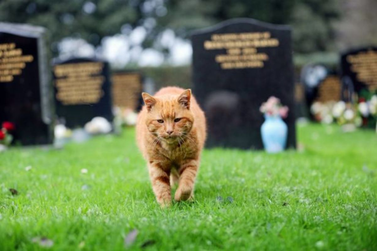 gatto-che-cammina-in-un-cimitero