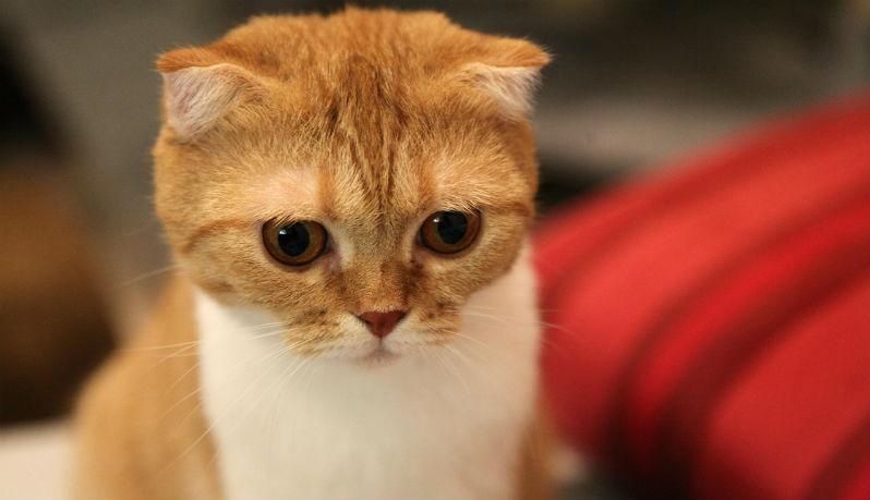 un gattino scottish fold