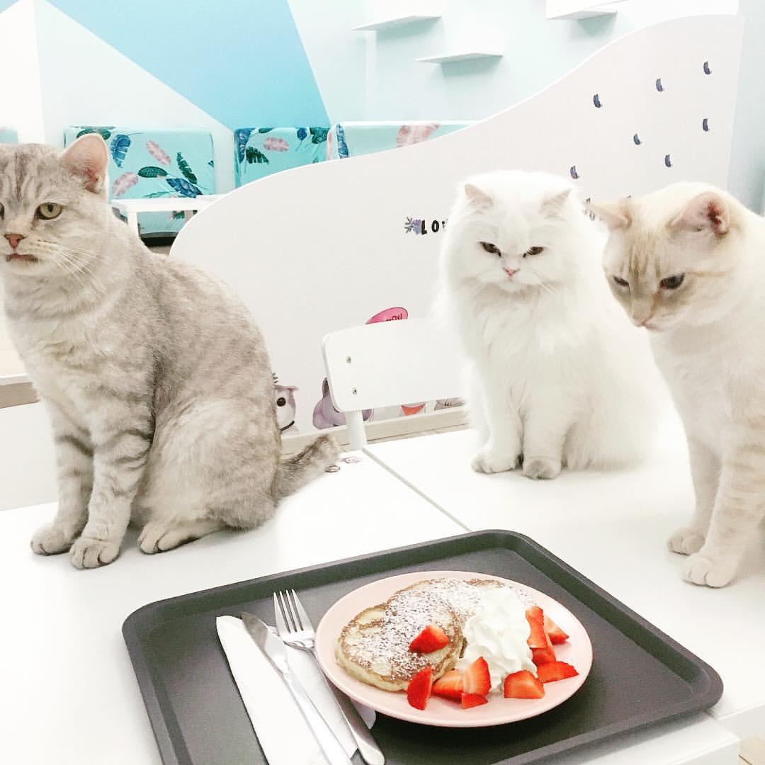 gatti-bianchi-con-crepes