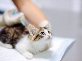 gattino viene vaccinato
