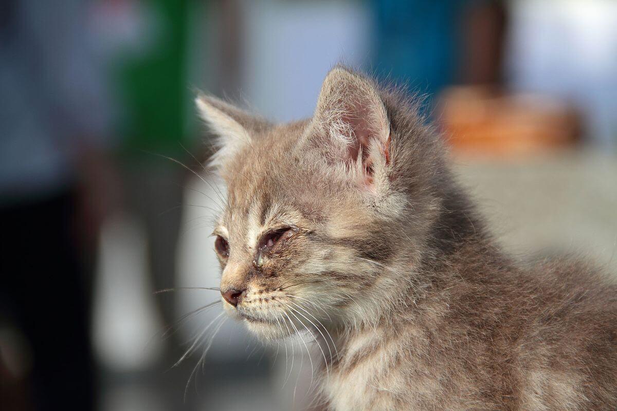 gattino con congiuntivite
