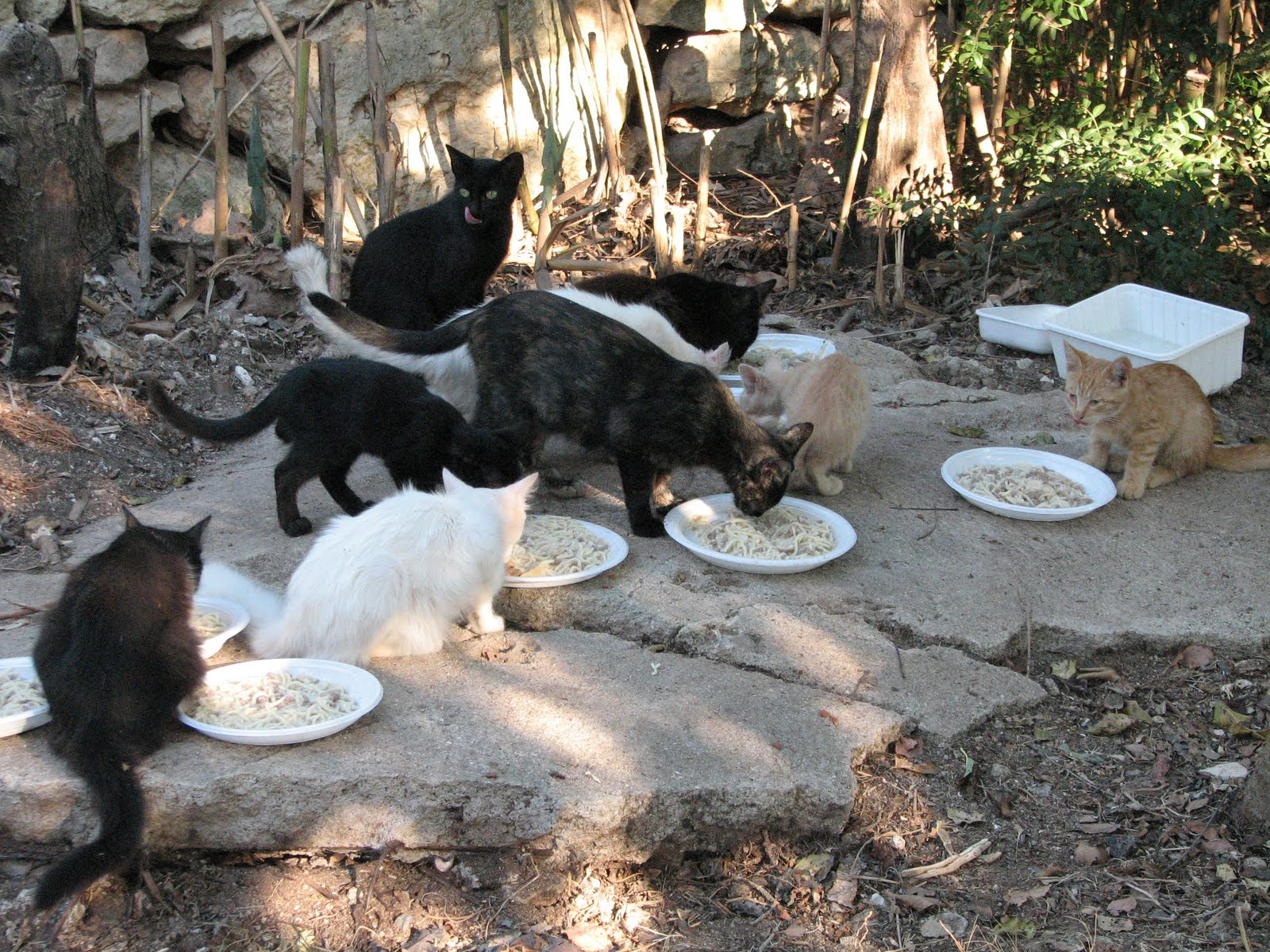 colonia di gatti mangiano