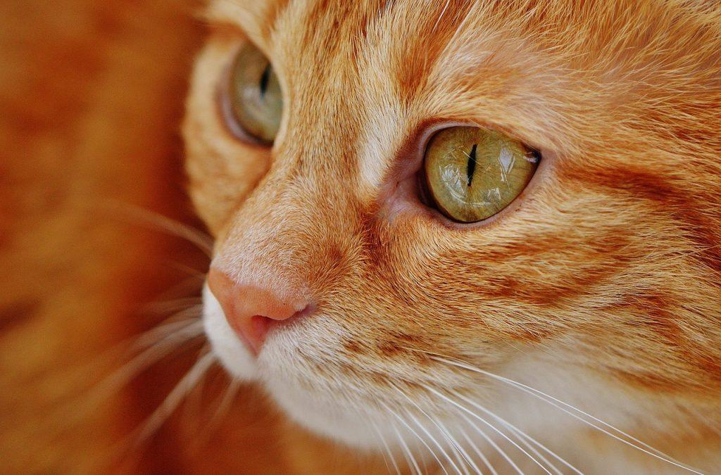 gatto-regale