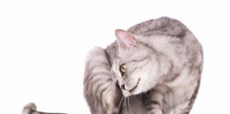 gatto si gratta su sfondo bianco
