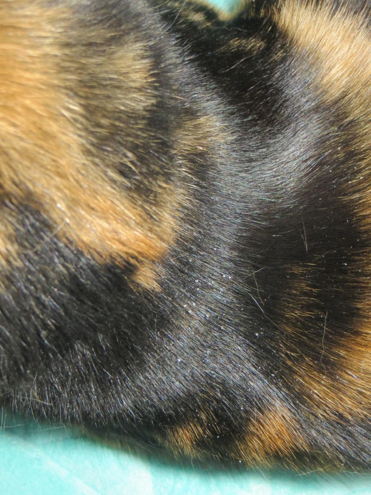 gatto con forfora