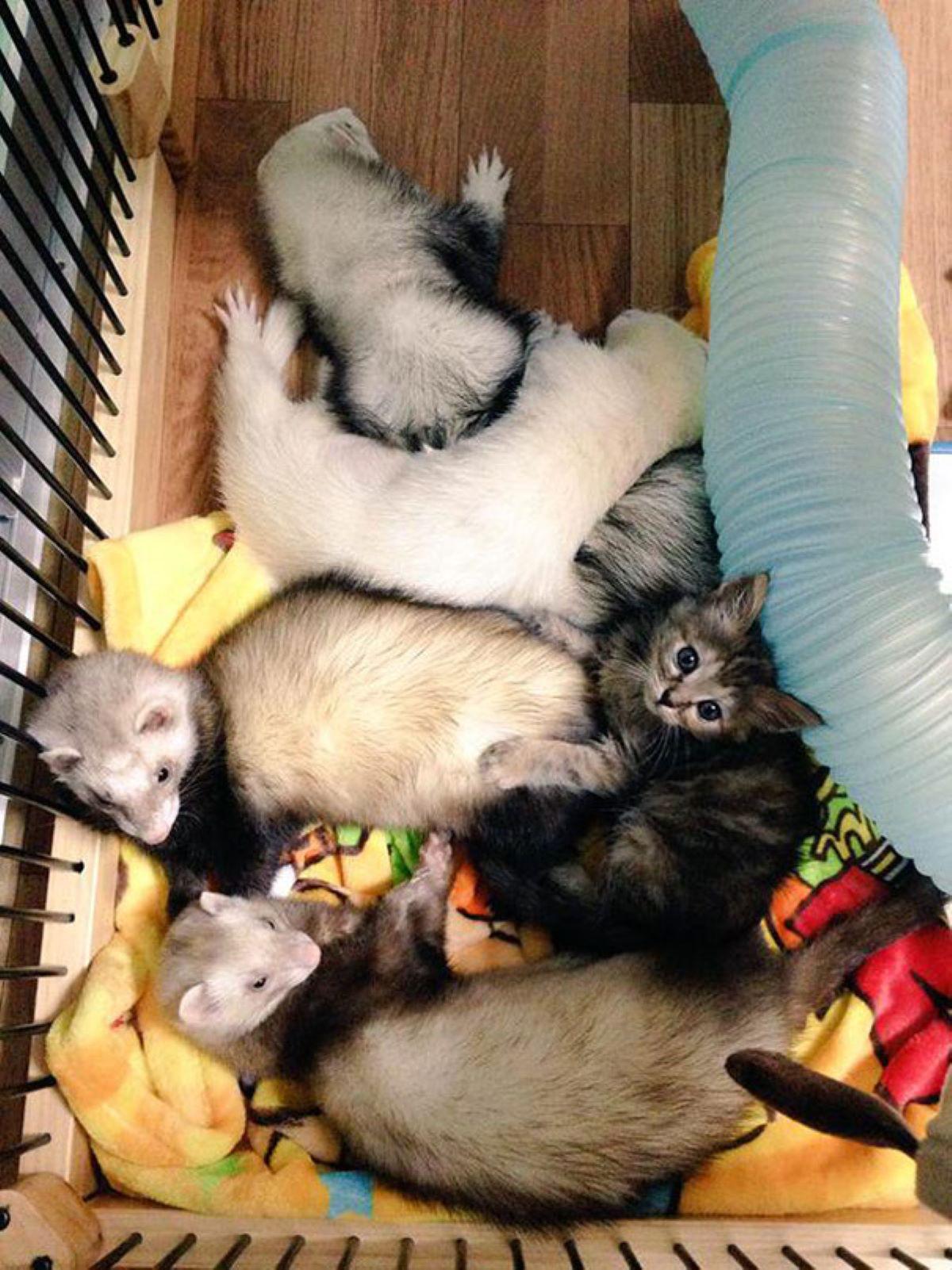 gatto-in-mezzo-a-furetti