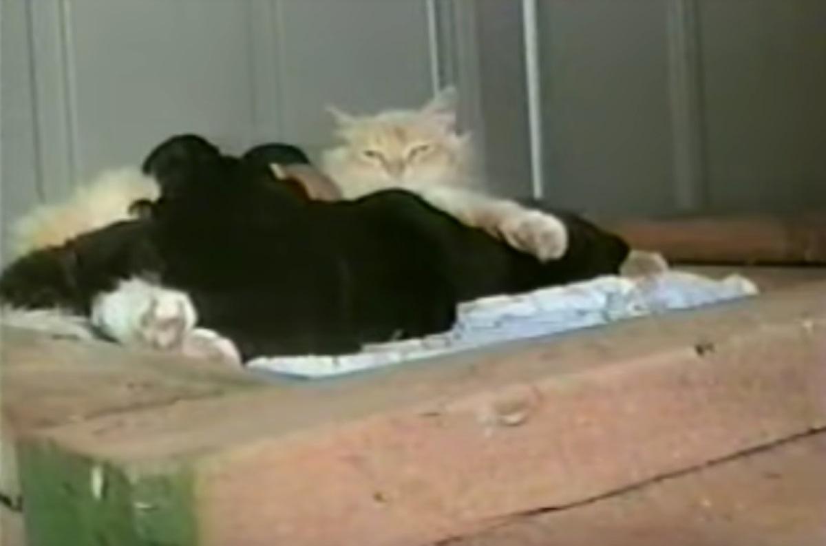 gatta-che-protegge-cagnolini