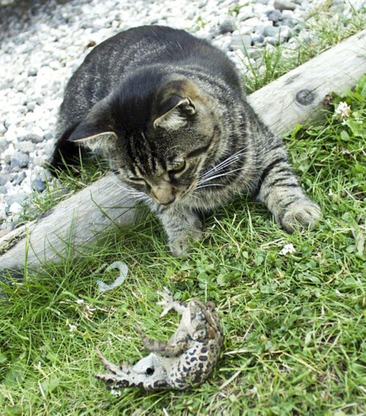 gatto-contro-rana