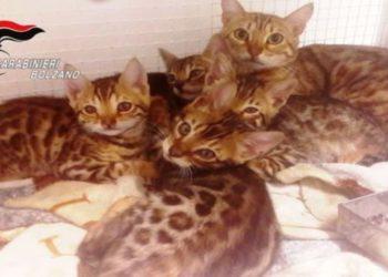 gatti-del-bengala-venduti-senza-autorizzazione-denunciato