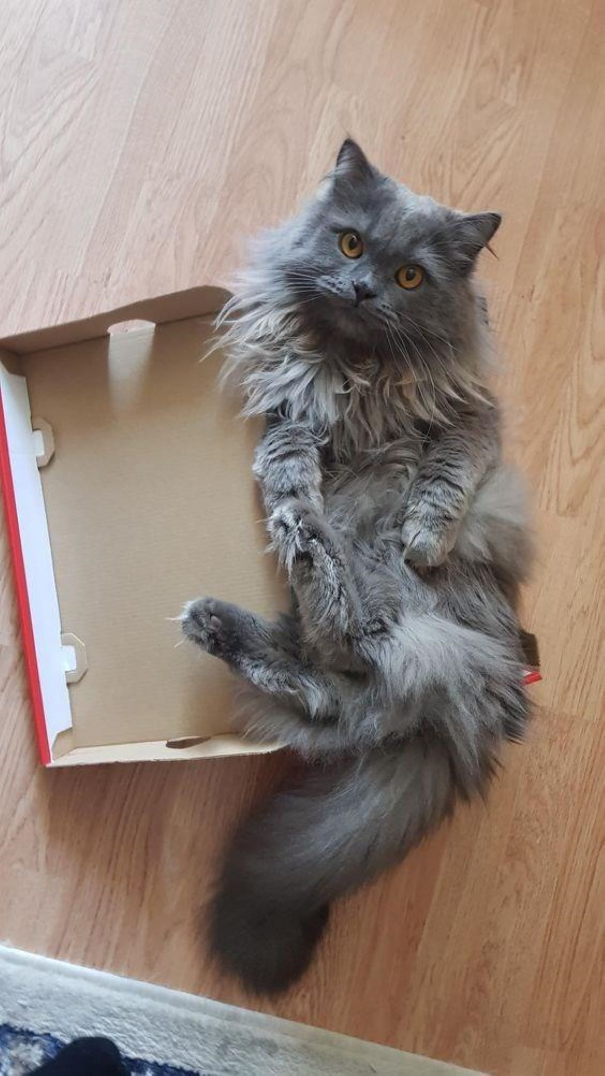 gattone-nella-scatola