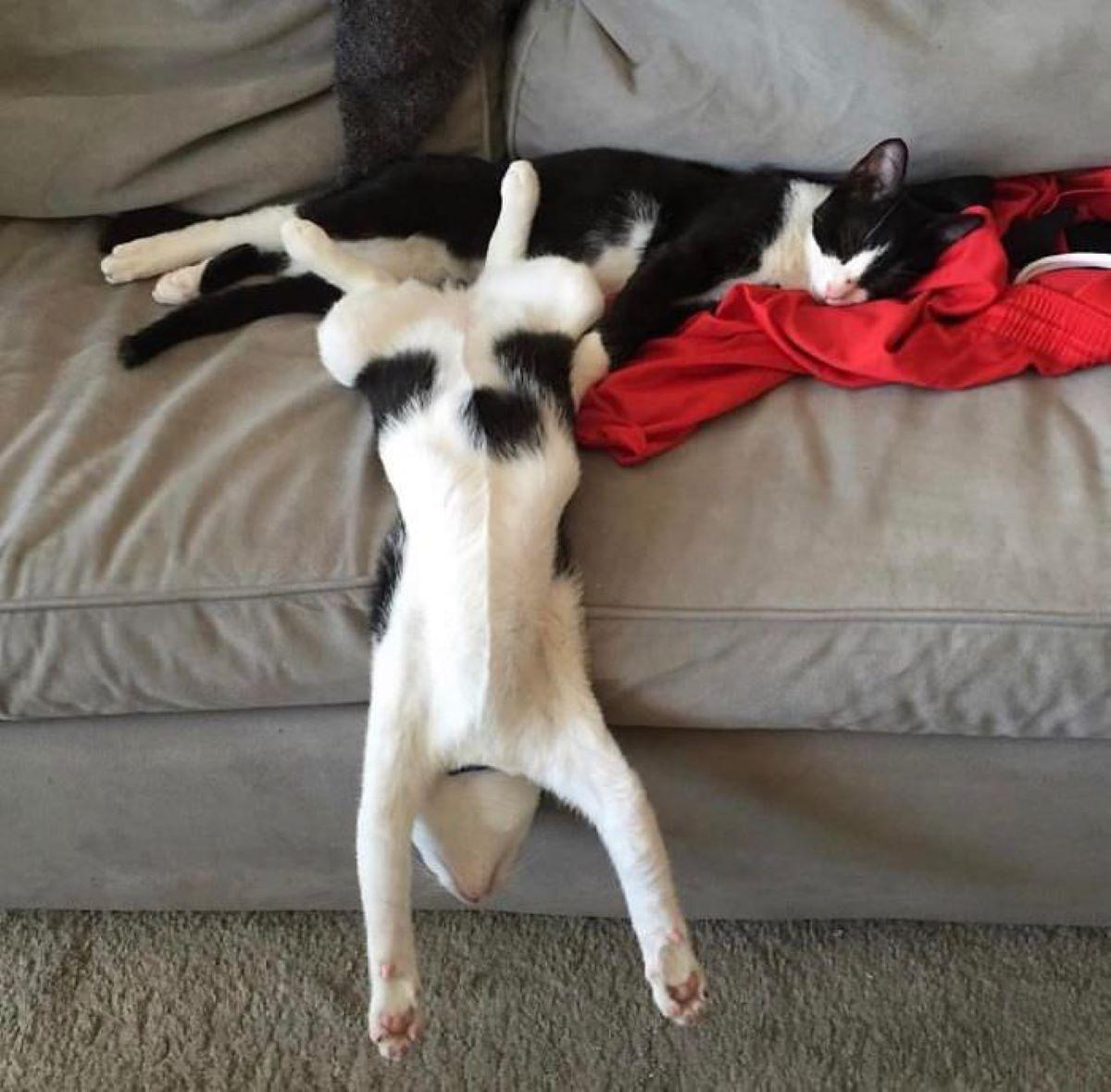 gatto-a testa-in-giù