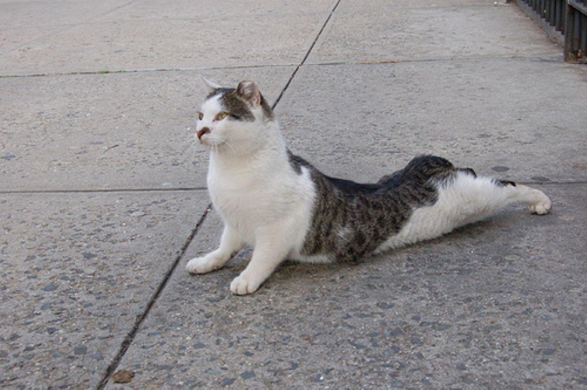 gatto-che-fa-yoga